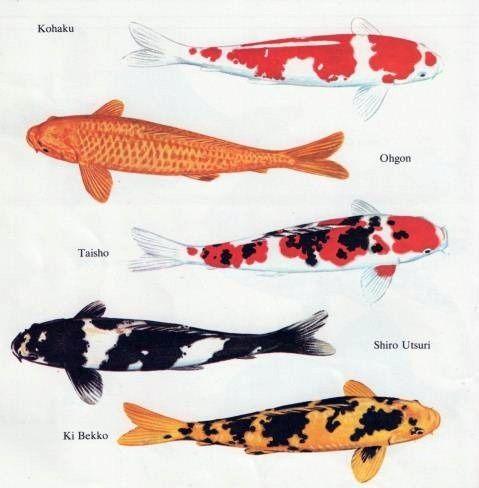 Koi type art pinterest koi and animal for Japanese fish names