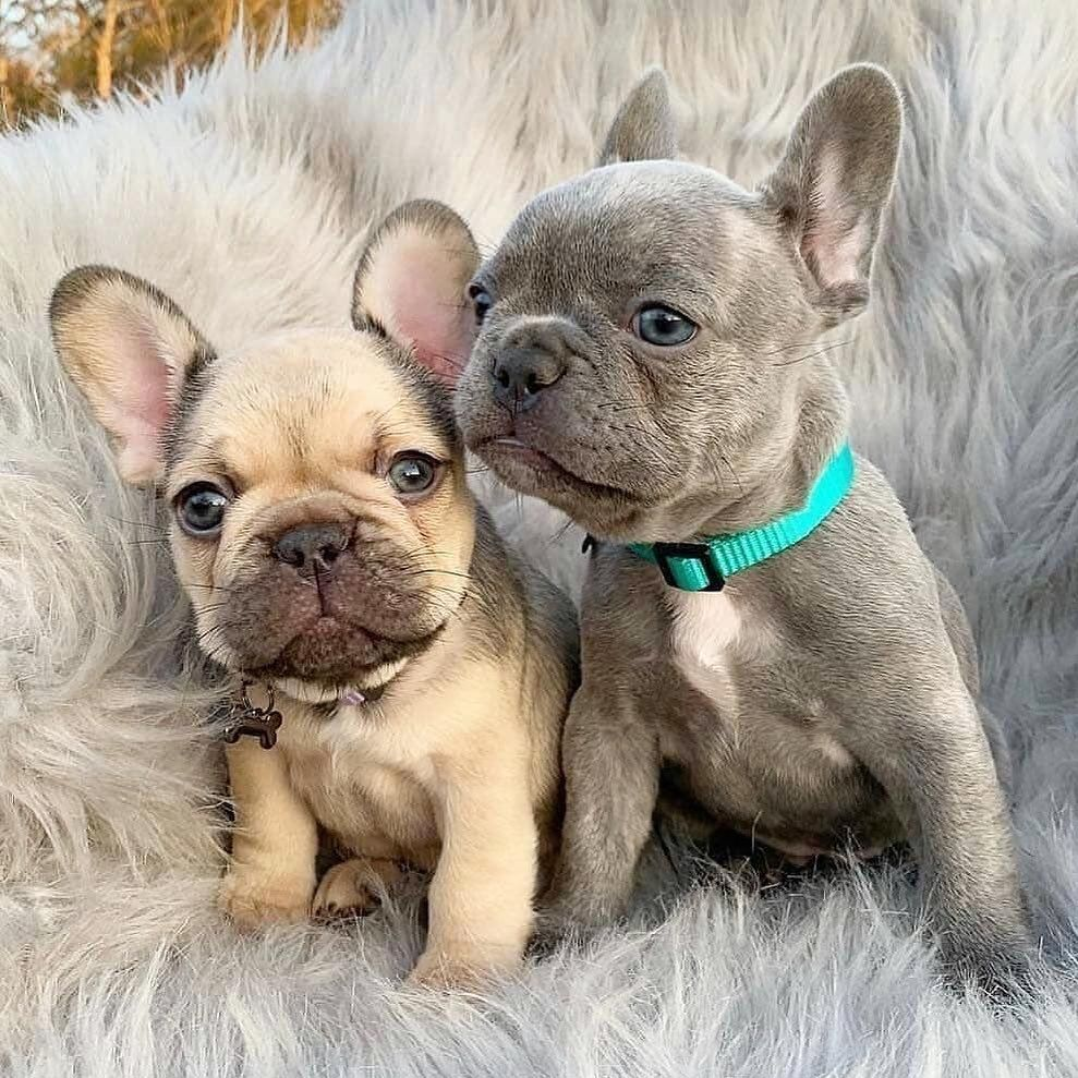 Love Is In The Air Follow Bullypaw By Kolbieandkeeva Tag A Frenchie Owner With Images Cute Baby Animals Cute Animals French Bulldog Puppies