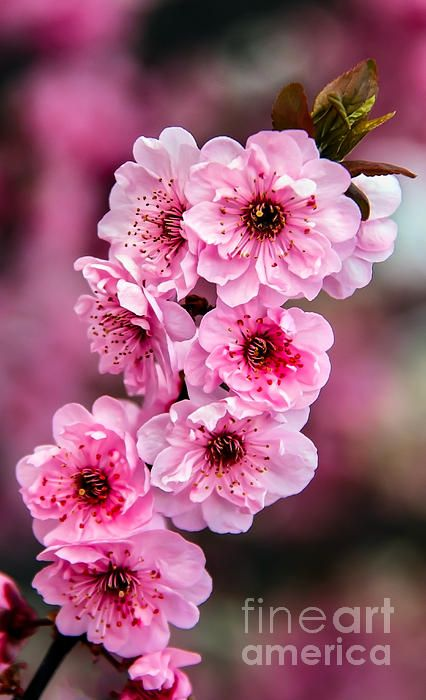 Beautiful Pink Blossoms Nature Photography Flowers Flower Landscape Flowers Nature