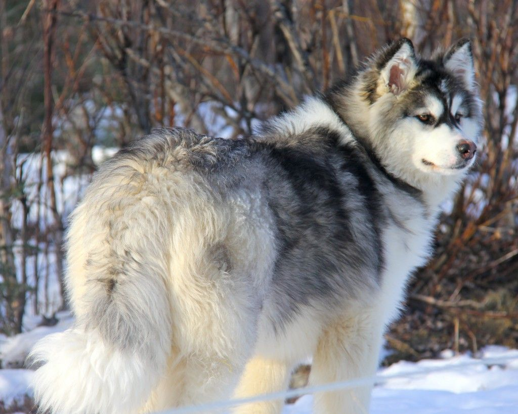 Grey And White Alaskan Malamute Dog Alaskan Malamute Alaskan