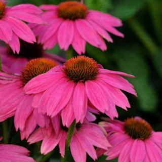 Powwow Wild Berry Coneflower Seeds Flowers Perennials Echinacea American Meadows