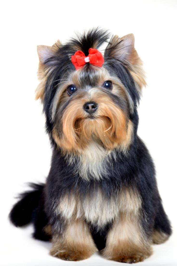 Cute Handsome Groommed Mini Yorkshire Terrier Over White With Red Bow Yorkshireterrier Terrier Yorkshire Terrier Yorkie Lovers