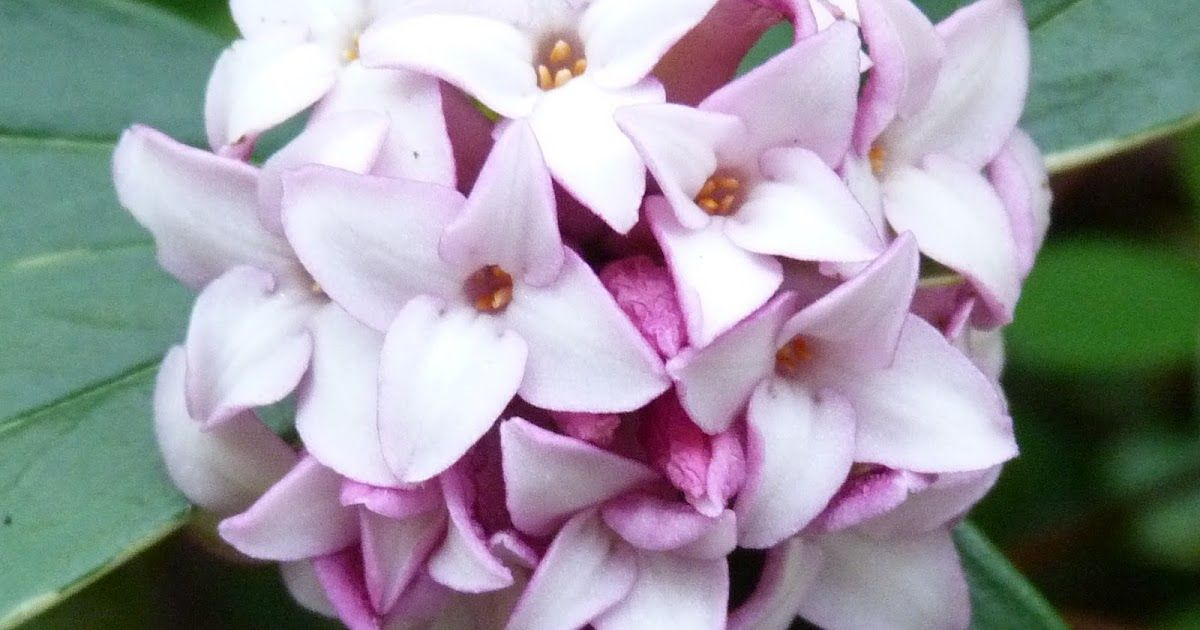 Following my post about the fragrance and romance of Daphne Odora , here's where this beguiling scent makes an olfactory appearance in The ...