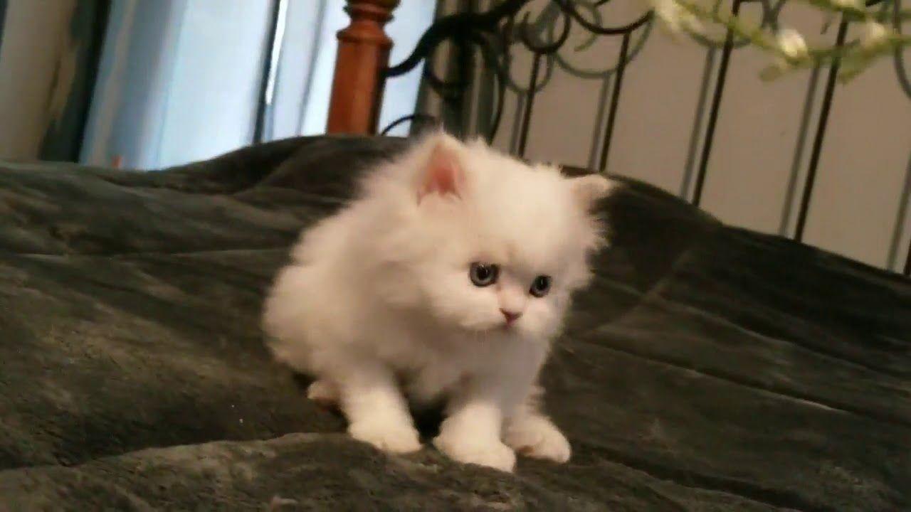 Pin On Persian Kittens