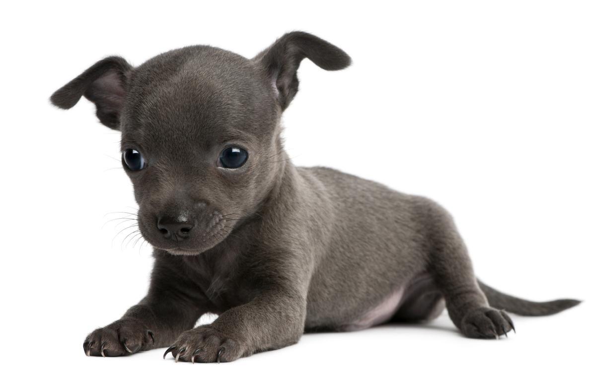 Blue chihuahua puppy blue chihuahua pitbull chihuahua