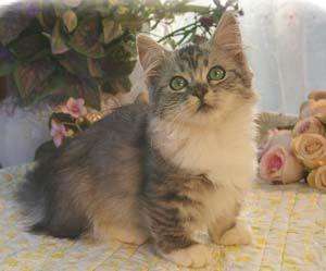 Missouri Munchkin Kittens Illinois Napoleon Kittens Iowa Persian Kittens Kittens Cutest Kittens