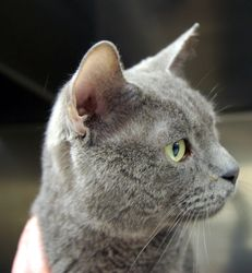 Adopt Dunkin On Petfinder Cats And Kittens Cats Short Hair Cats