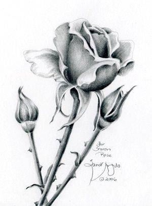 Pencil Drawings Of A Rose
