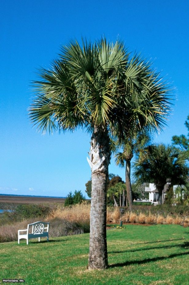 Cabbage palmetto sabal palmetto 10 10 14 for Landscaping plants south carolina