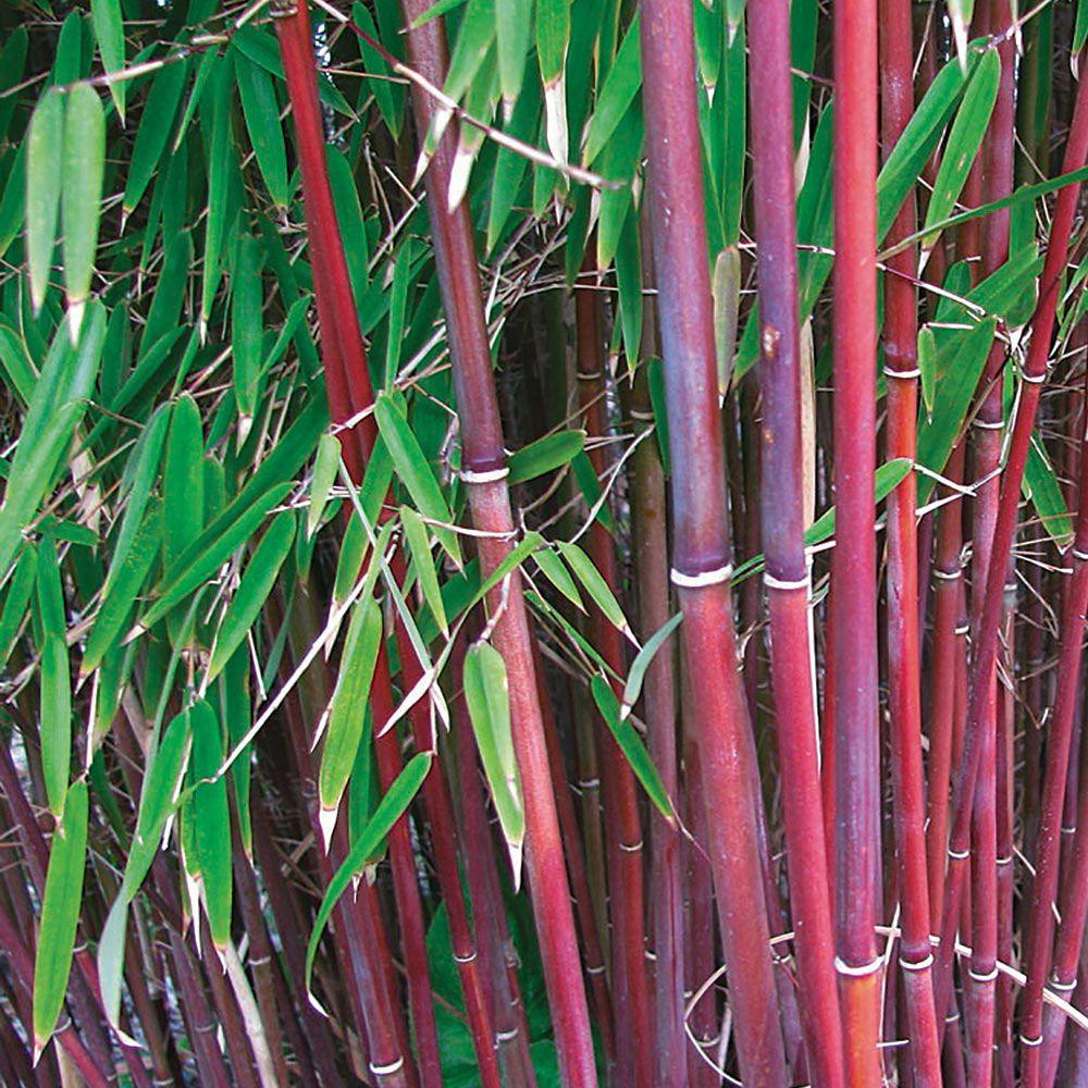 Bamboo 'Asian Wonder' Bamboo plants, Bamboo plants for