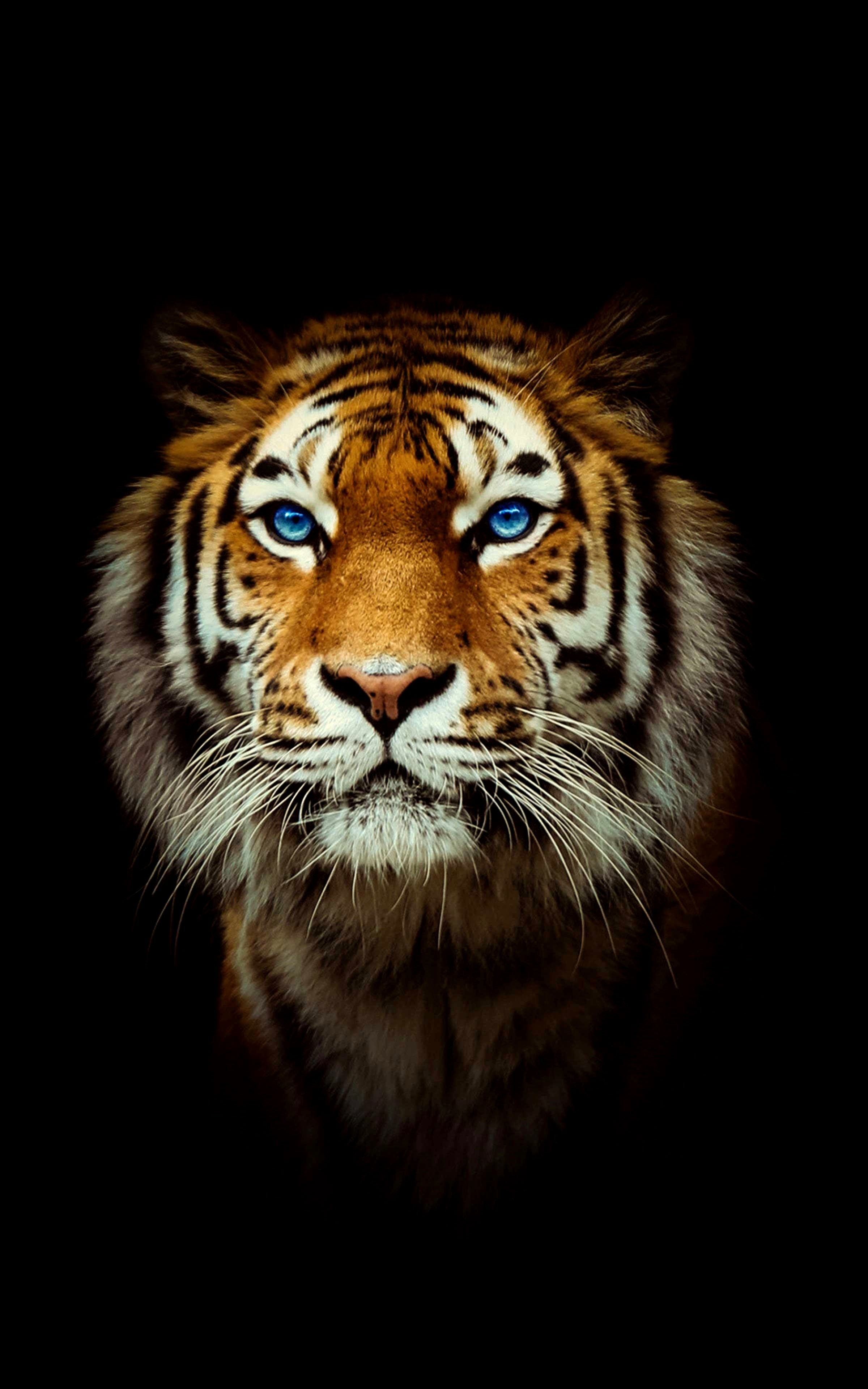 Wallpaper 4k Tiger Gallery Tiger Wallpaper Tiger Wallpaper Iphone Tiger Pictures