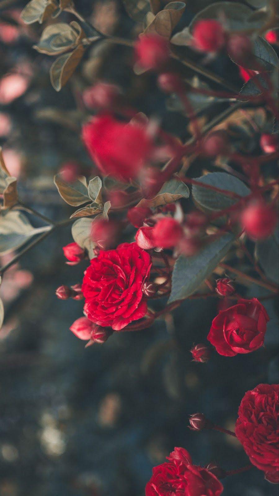 Red Rose Rose Wallpaper Flower Aesthetic Dozen Red Roses