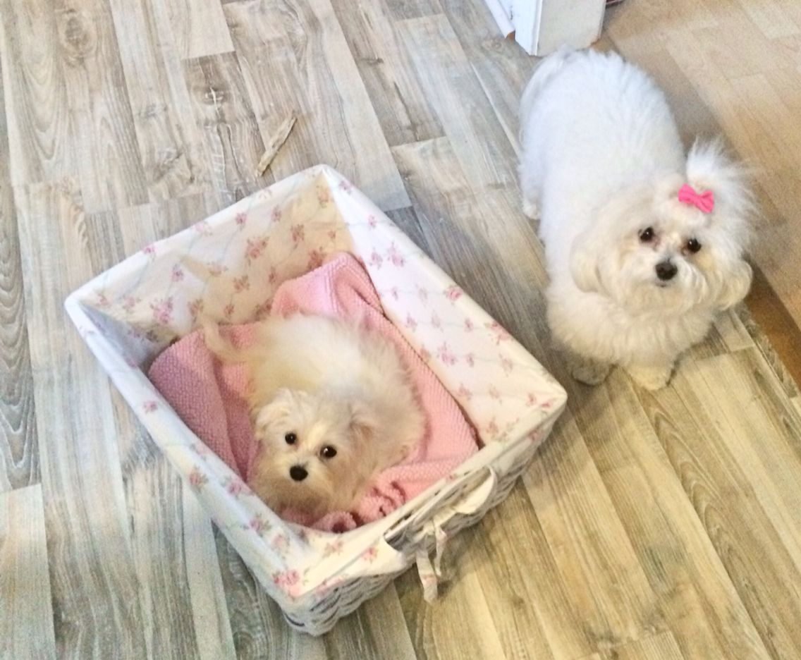 Lilly Bella Maltese Maltese Dogs Baby Maltese Cute Cats And Dogs