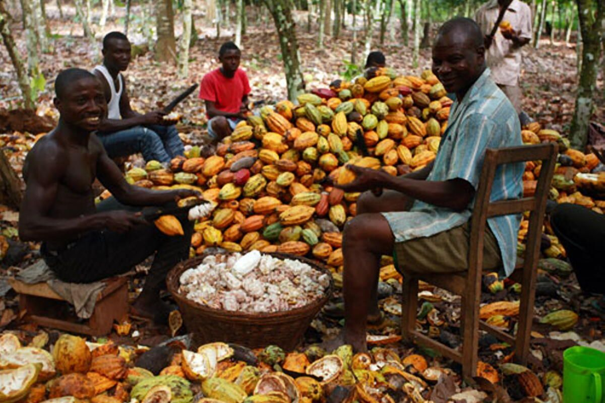 UNDP Mitigates Impacts of Climate Change In Cocoa Growing