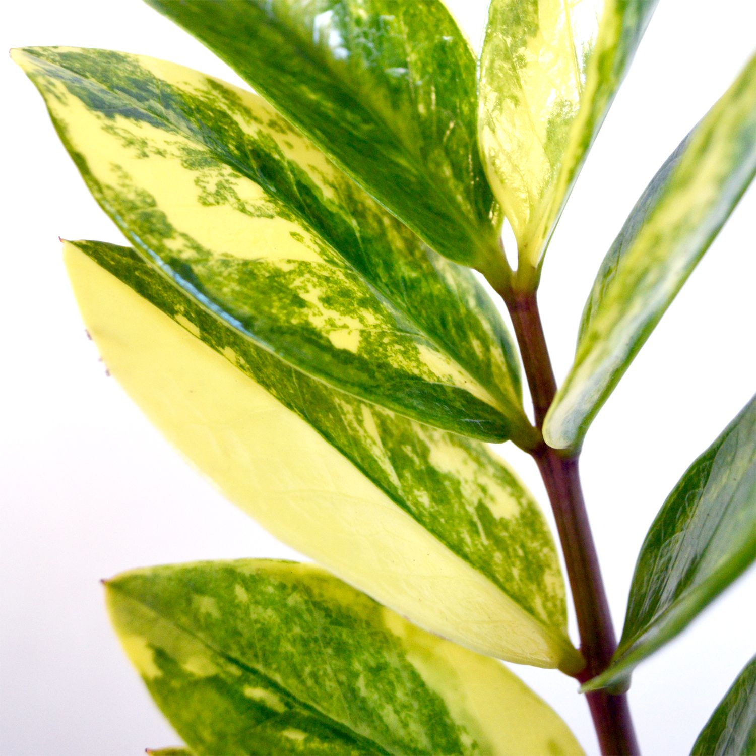Variegated Zamioculcas ZZ Plant | Indoor Plants | Zz plant ... on order birds of paradise plant, zamiifolia house plant, spider house plant, fig house plant, houseplants plant, croton house plant, banana house plant, cast iron plant, rubber house plant, hydrangea house plant, peperomia house plant, fern house plant, zi zi plant, arrowhead house plant, umbrella house plant, avocado house plant, eternity plant, house plant identification succulent plant,