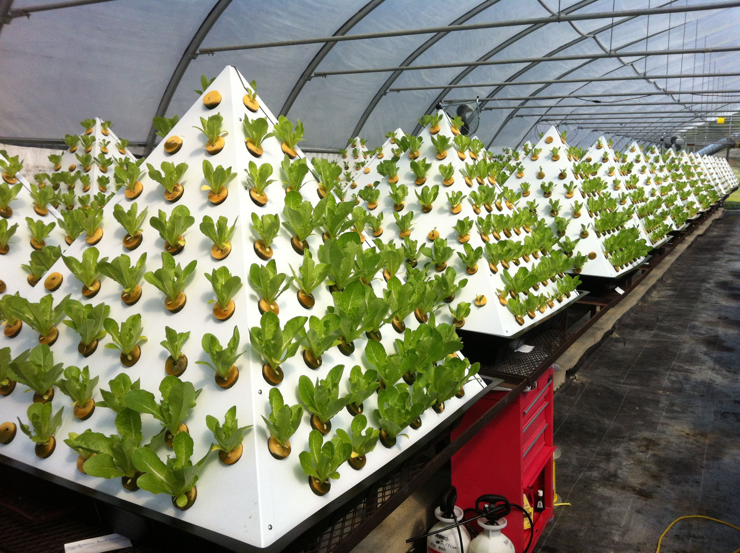 Growing Romaine Lettuce in Pyramid Hydroponic Gardens WATER