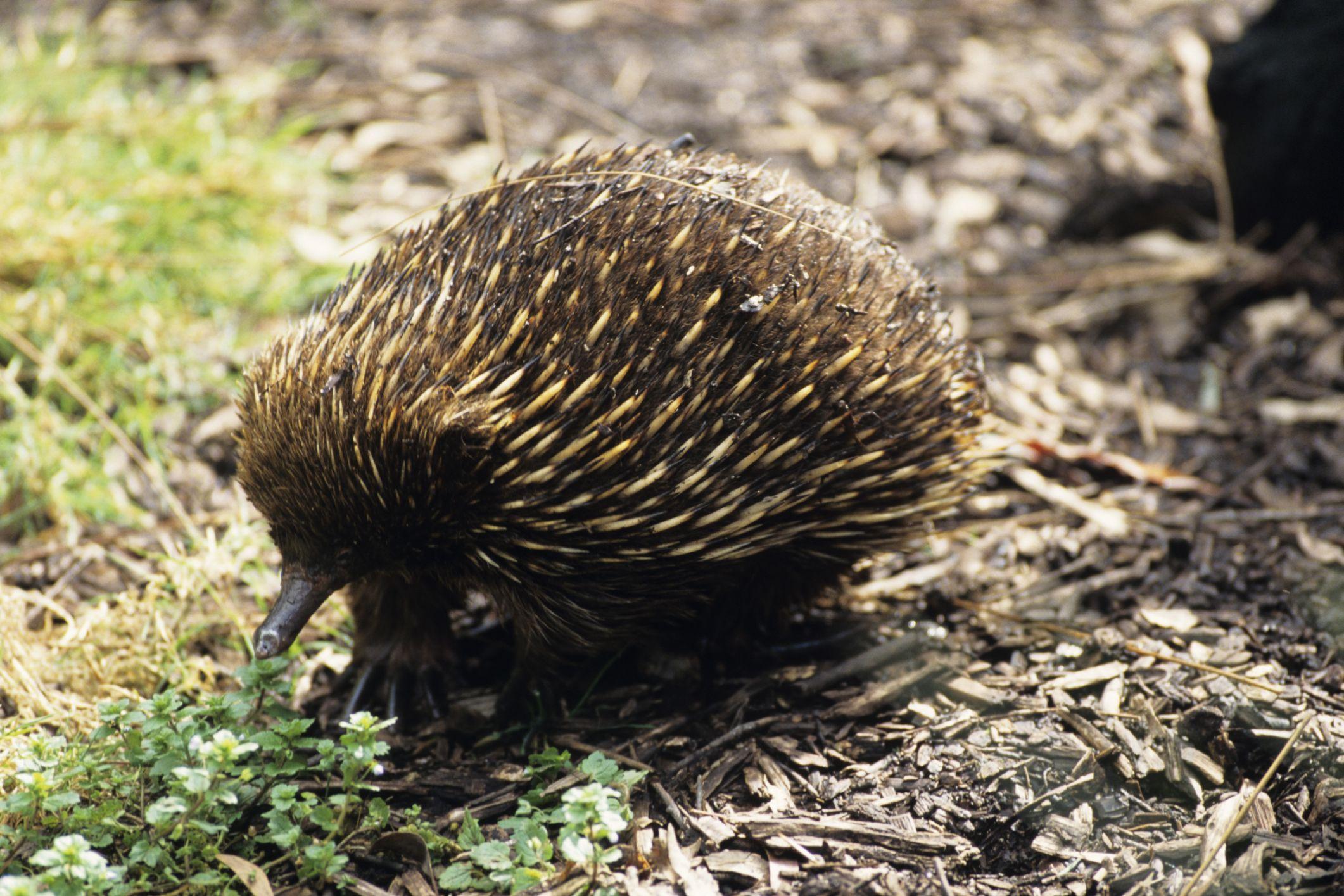 List of oviparous animals Oviparous animals, Mammals