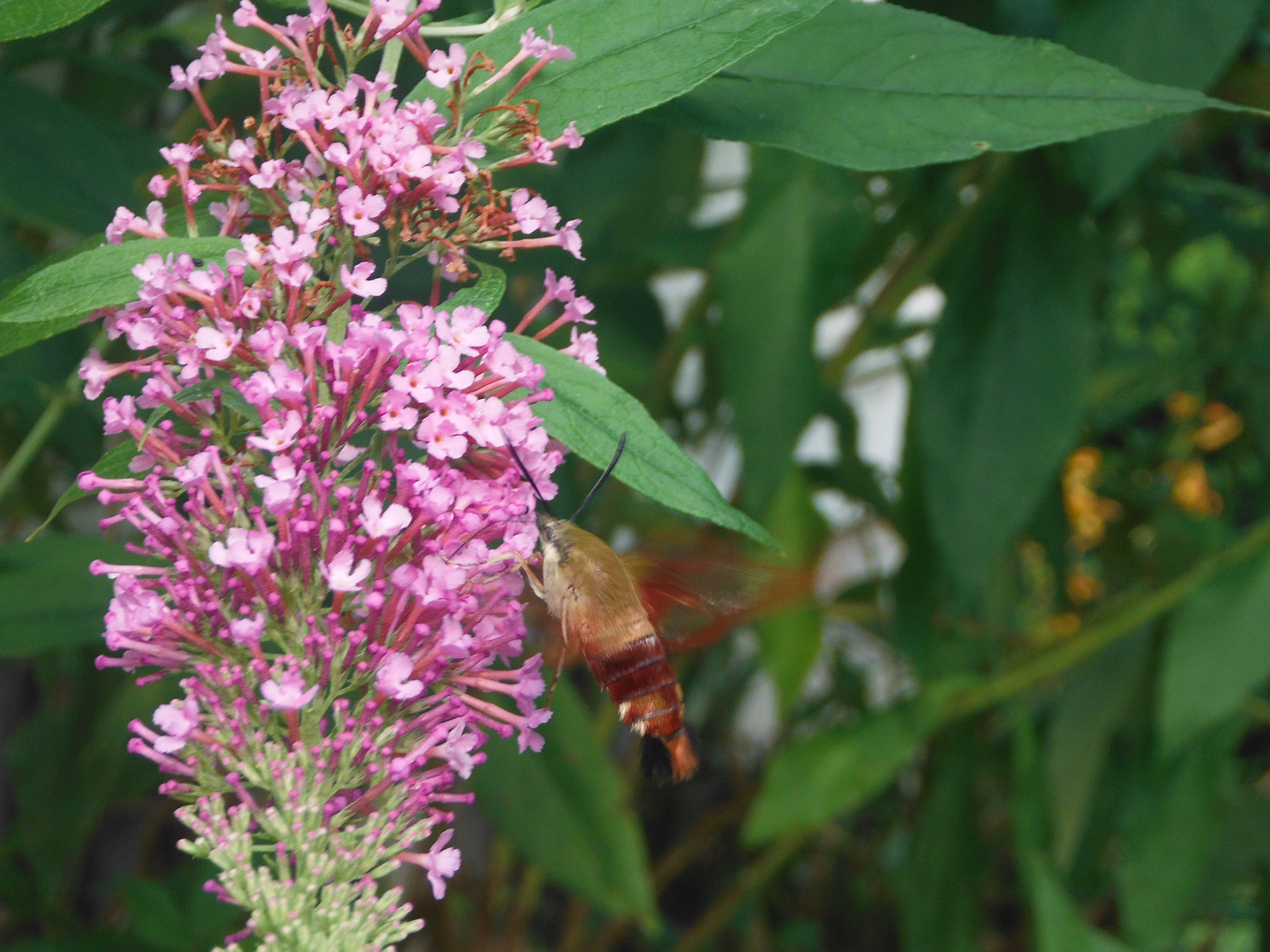 What are these guys?  Cross between a humming bird, butterfly, bumble bee  and mouth?  They love this bush either way.