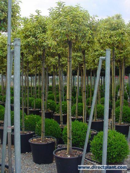 bontbladige olijfwilg als boom elaeagnus ebbingei 39 gilt edge 39 elaeagnus ebbingei gilt. Black Bedroom Furniture Sets. Home Design Ideas