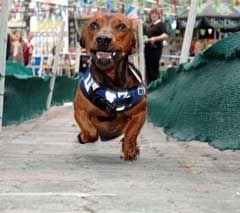 Dachshund Races At Old World Village In Huntington Beach