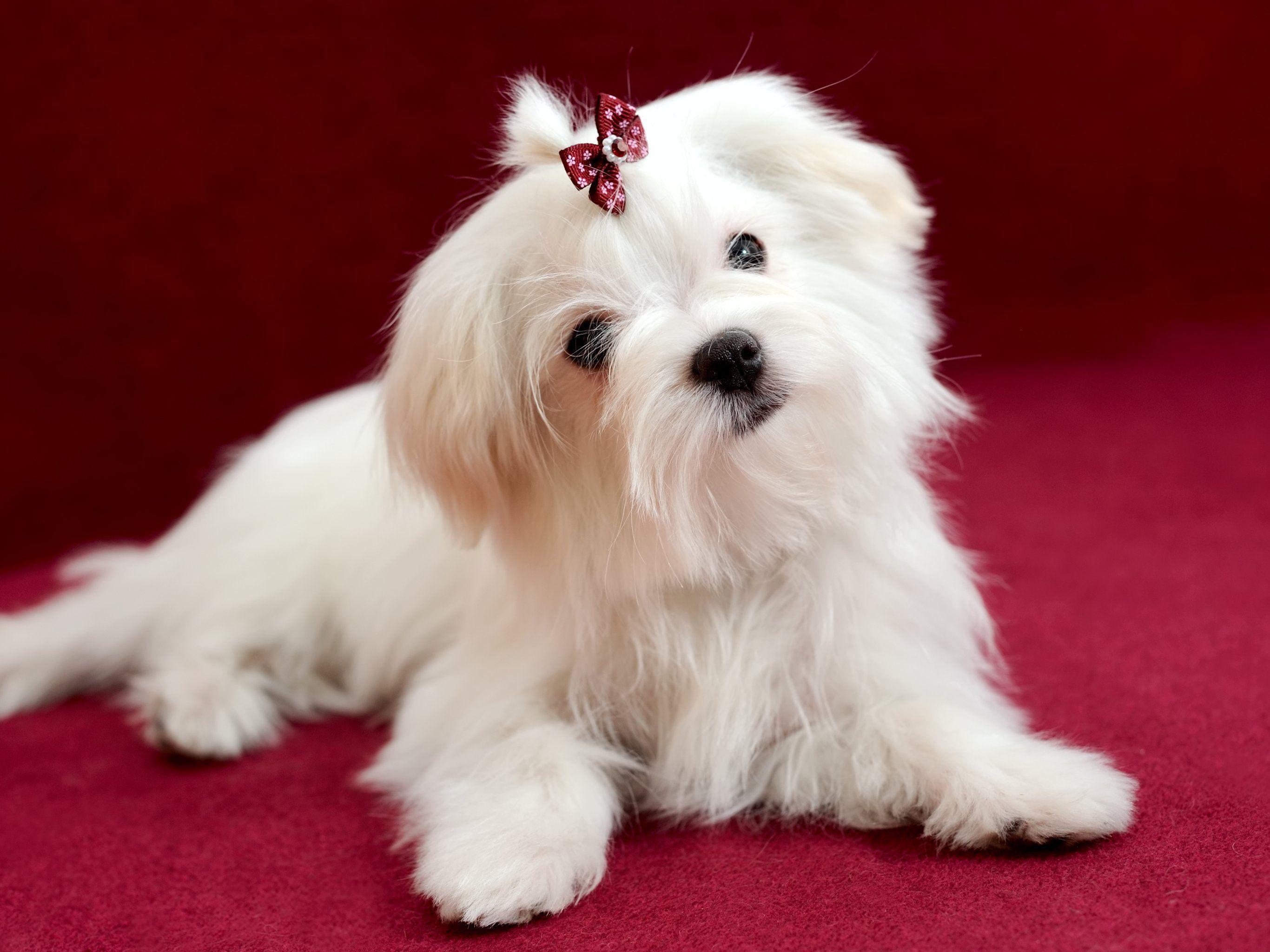 New Jersey Maltese Maltese Dog Breeds Maltese Dogs Maltese