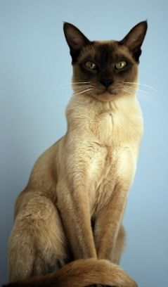 Tonkinese Cat Breeders Profile Of The Tonkinese Cat Tonkinese Cat Tonkinese Cat Breeder