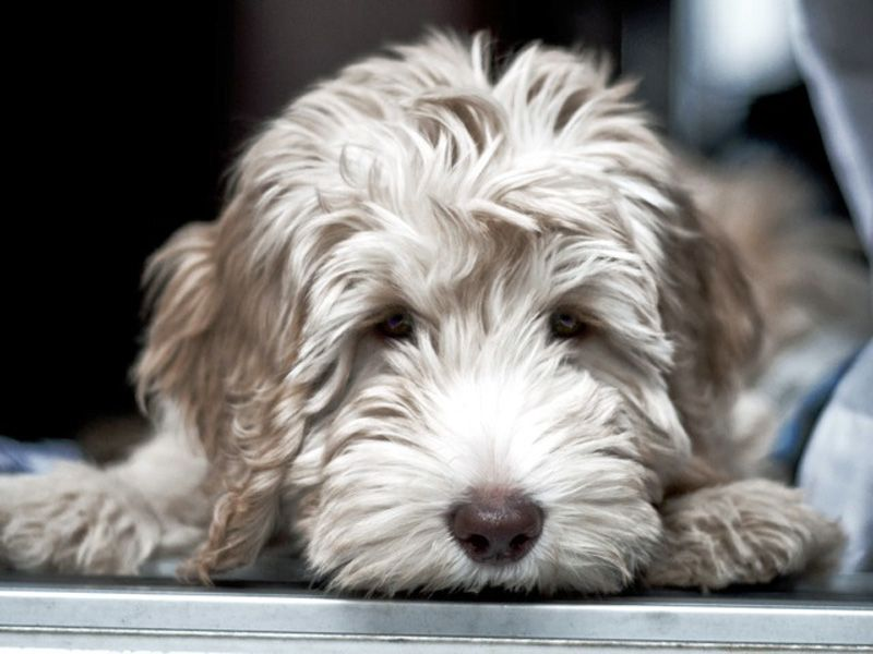 Australian White Labradoodle Visit Our Store For Cute Items For