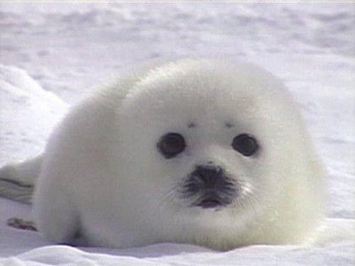 Baby Phoque bébé phoque | adorable seals | pinterest | cute animals, baby seal