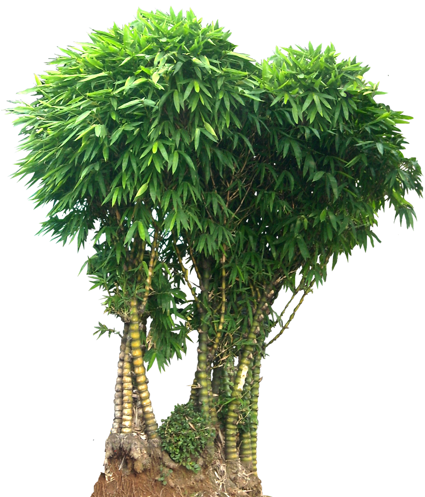 Wamin Bamboo Png 855 1000 Tanaman Kebun Pohon