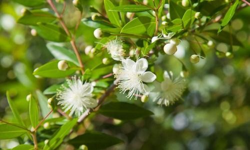 Myrtus Communis Common Myrtle Myrtle White Flowers Fragrant Shrub Evergreen Shrub True Myrtle Evergreen Shrubs Garden Shrubs Myrtle