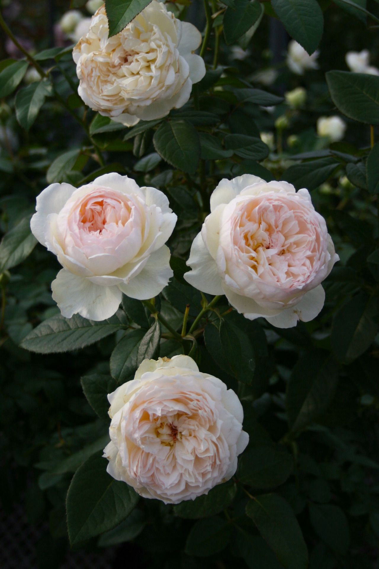 Bolero ボレロ メイアン社 発売から10年以上経過していますが 現在でも白色のシュラブでは 一番人気です フルーツ香の強香があり 低温時には桃色が強くのります 耐病性もあるので初心者の方にも オススメですよ 6寸 3500 バラの壁紙 バラ ボレロ
