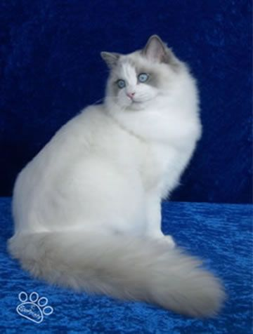 Blue Point Bicolor Ragdoll Cat. I love ragdoll cats! I have four!