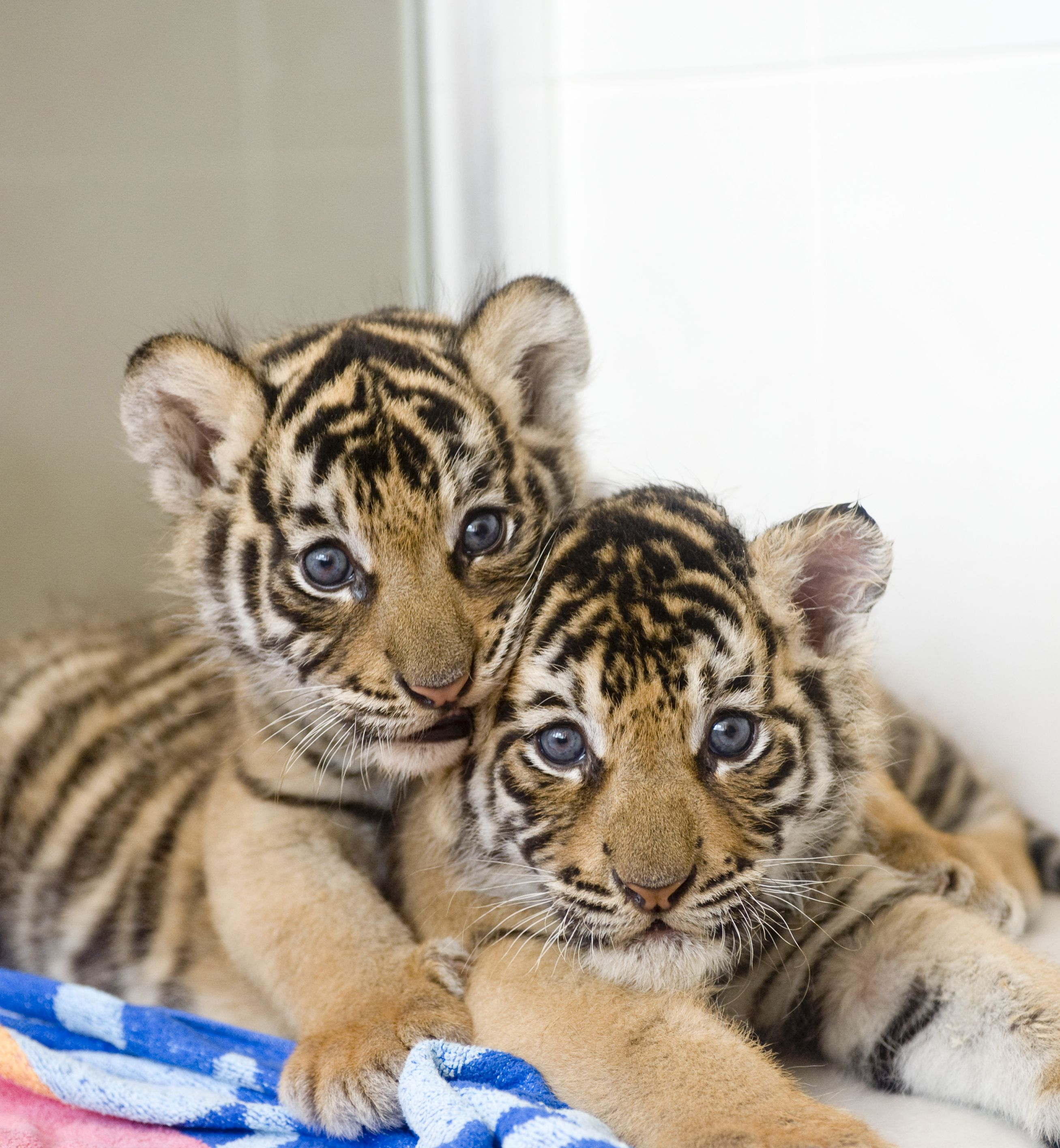 Bengal Tiger Cubs | Animals, Baby animals, Baby tigers
