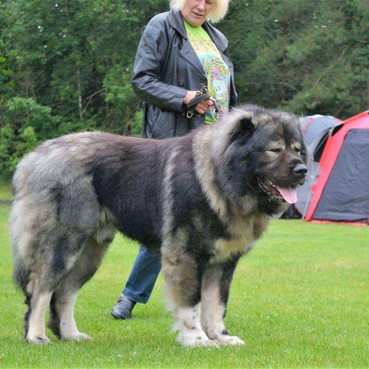 Caucasian shepherd breeders in the us russian bear dog
