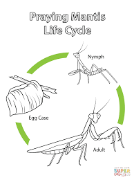 This picture shows the life cycle of a praying mantis.