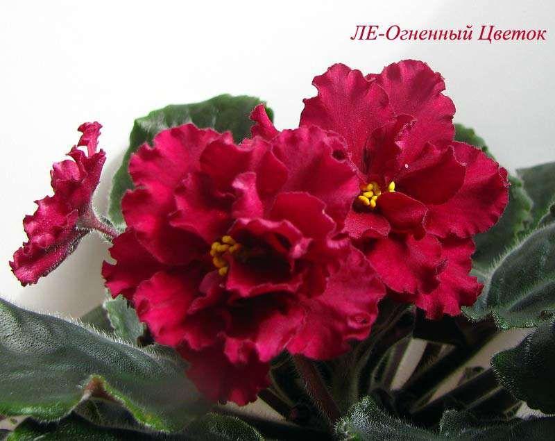 ЛЕ-Огненный Цветок Пример цветения временно на фото из Интернета http://fialkiwave.listbb.ru/viewtopic.php?f=153&t=2079