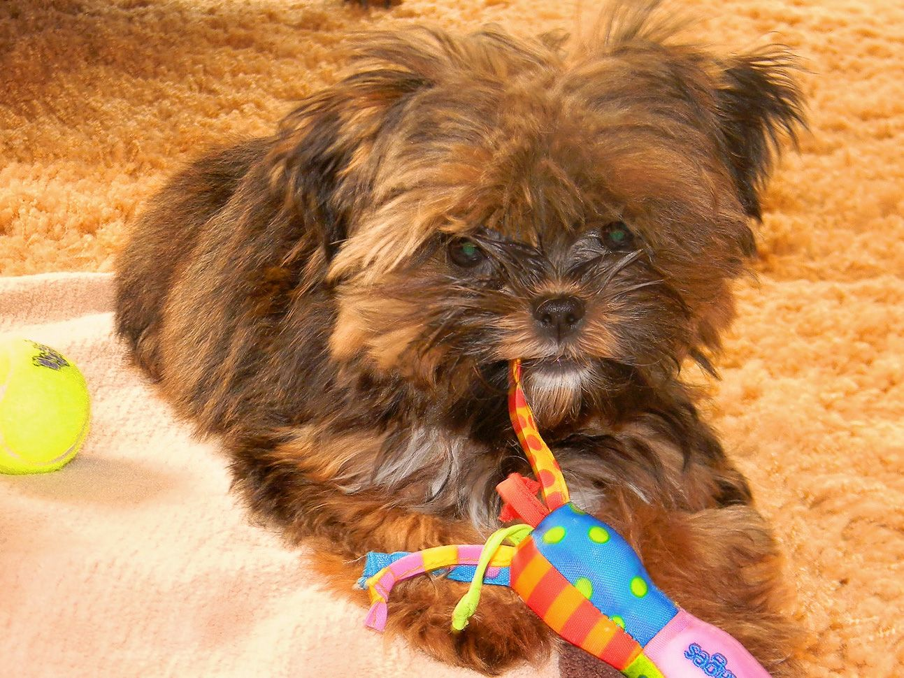 My Sweet Shorkie Kiblet ) Puppies for sale, Small non