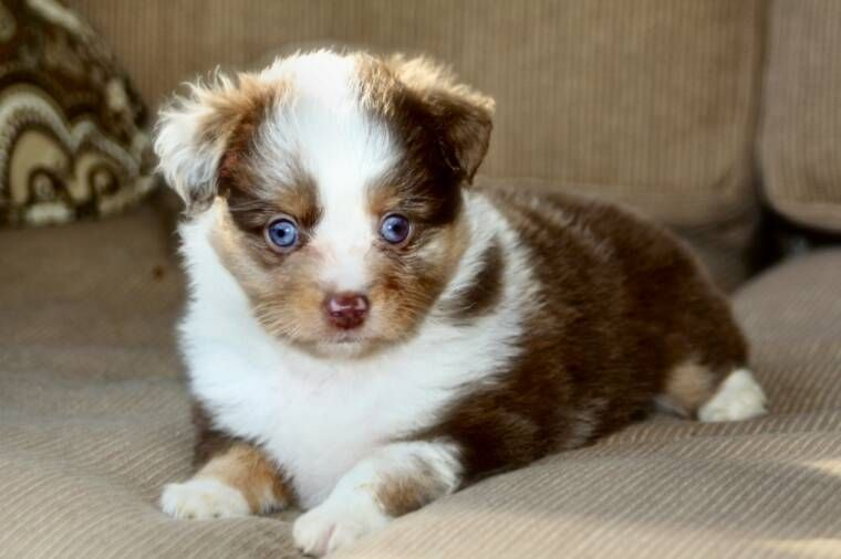 Face Cute Australian Shepherd German Shepherd Mix Puppies Aussie