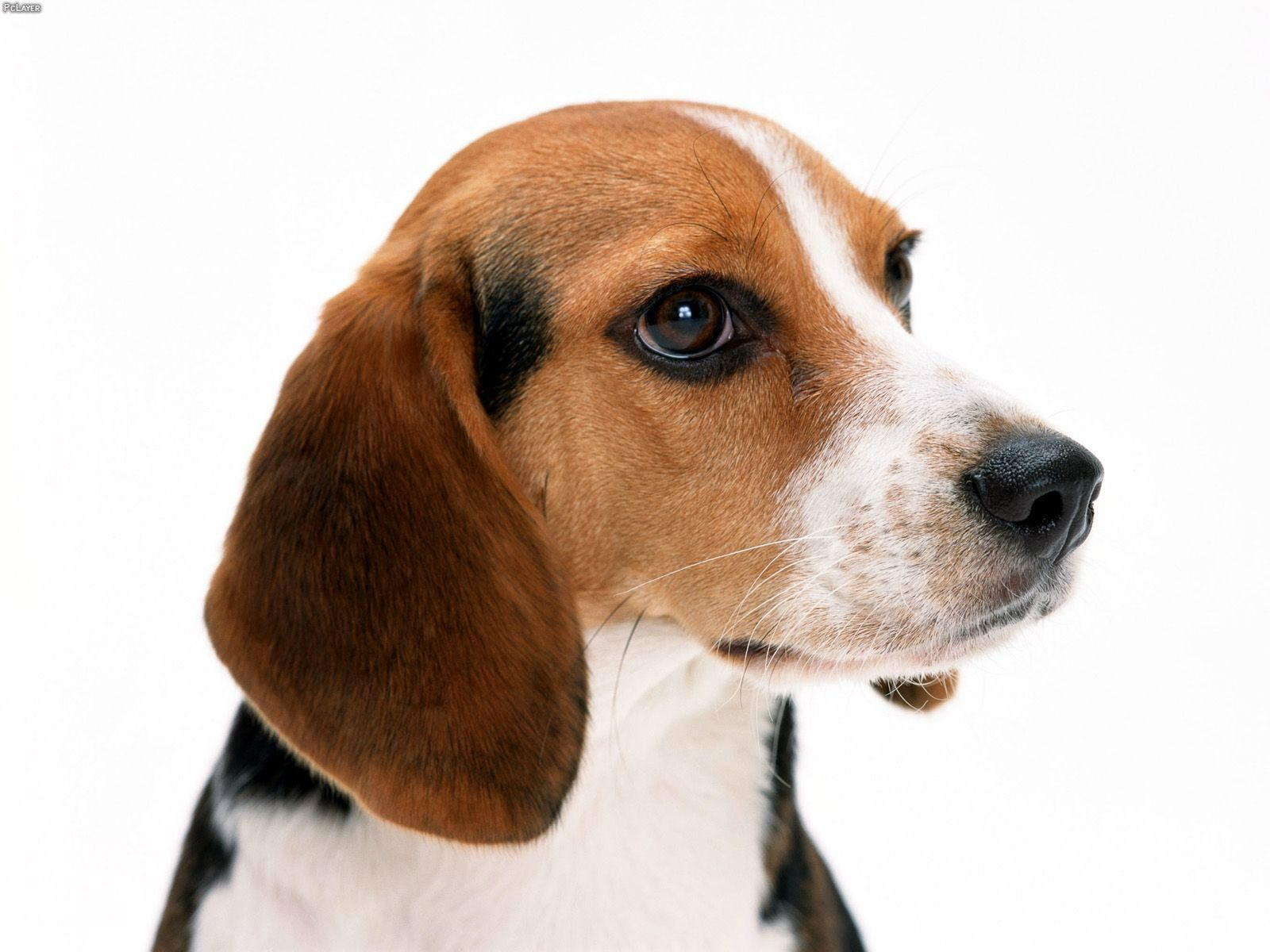 Beagle - Google Birds And Animals Dog Breed