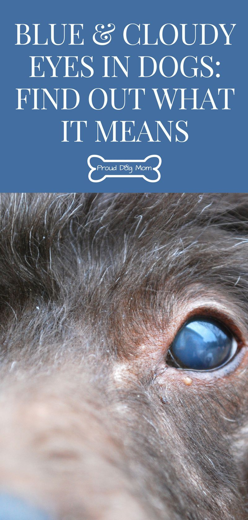 Blue And Cloudy Eyes In Dogs Find Out What It Means Meds For