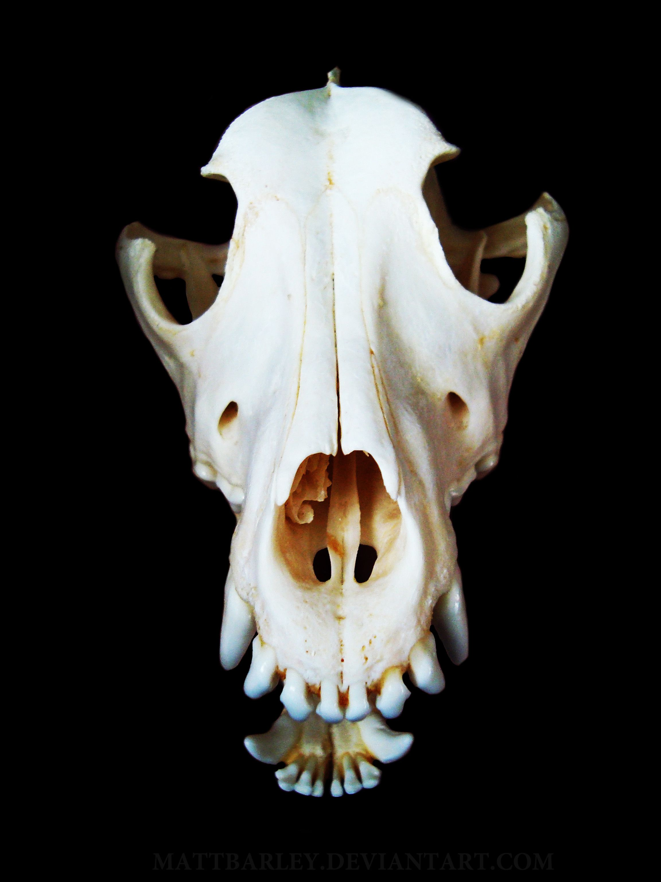 hight resolution of dog skull front view