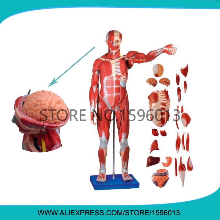 170 Cm Full Body Muscles Of Male With Internal Organs 27 Partshuman