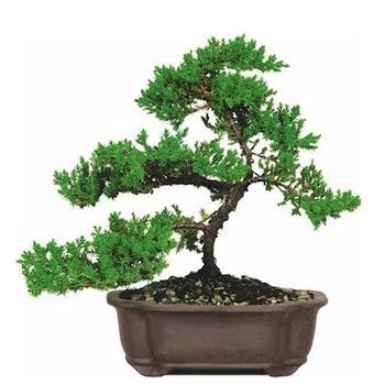 Care Guide For The Juniper Bonsai Tree Juniperus Juniper Bonsai Trees Sold At Large Stores Including In 2020 Juniper Bonsai Bonsai Trees For Sale Bonsai Tree Care