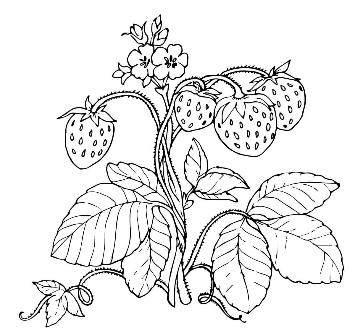 Strawberry coloring pages | Free Coloring Pages | 1127x1200