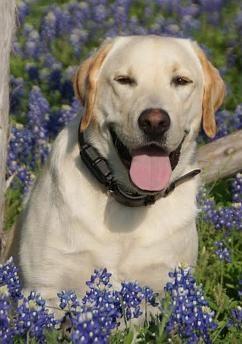 Lab Retriever For Adoption Portland Oregon Dog Adoption Dogs