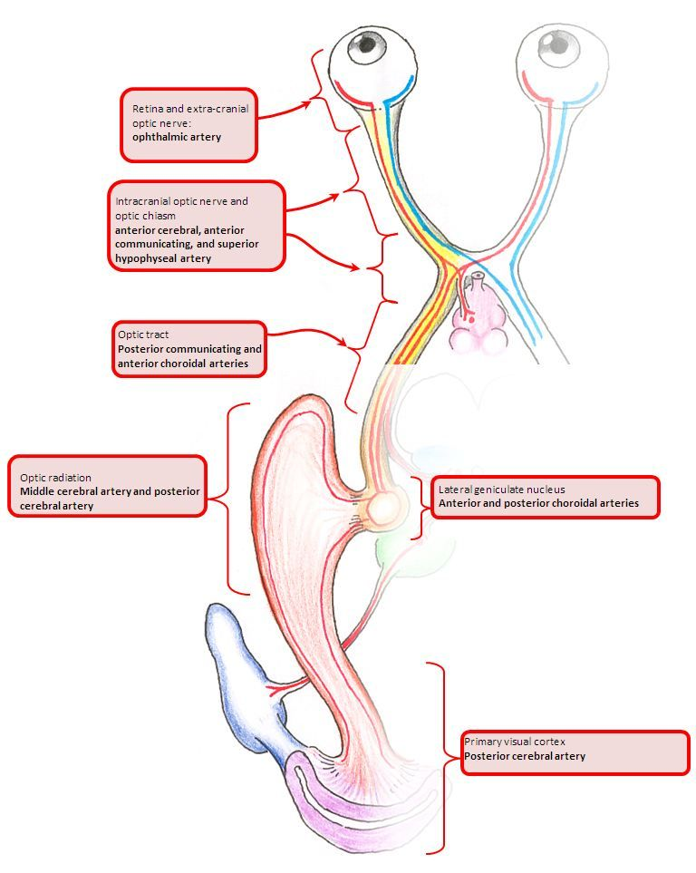 blood supply to the visual pathway.JPG (768×963) | ophthalmology ...