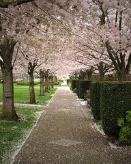 Photography Of Salem Oregon S Capital Mall And It S Grove Of Cherry Trees Monument Valley Cherry Tree Salem Oregon