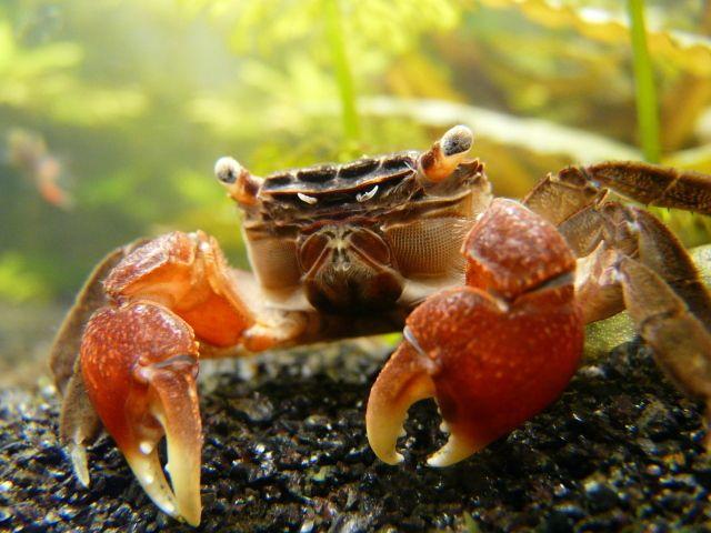 Red Claw Crab Elite Inverts Store Freshwater Aquarium Crab Aquarium