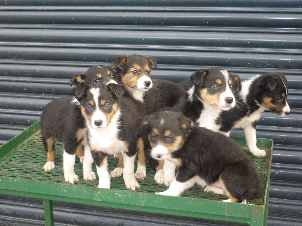 Tri Coloured Border Collie Puppies For