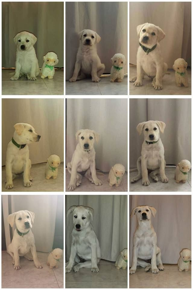 My Cute Labrador Retriever Growth Chart In 9 Weeks Labrador